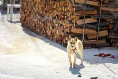 Cane della Camera in Corea Immagine Stock Libera da Diritti