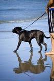 Cane della camminata della spiaggia Fotografie Stock