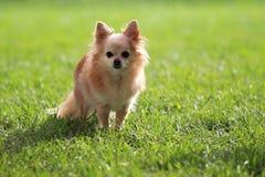 Cane della chihuahua Fotografie Stock Libere da Diritti