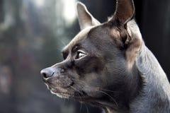 Cane della chihuahua Fotografia Stock Libera da Diritti