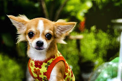 Cane della chihuahua Immagine Stock Libera da Diritti