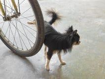 Cane della chihuahua che orina Immagine Stock Libera da Diritti