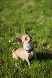Cane della chihuahua che si siede cercando orizzontale Fotografia Stock