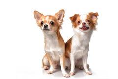 Cane della chihuahua che si siede su un fondo bianco Fotografia Stock