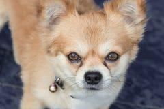 Cane della chihuahua con gli strappi Fotografia Stock Libera da Diritti