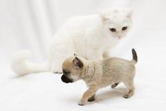 Cane della chihuahua con il grande gatto bianco Immagini Stock Libere da Diritti