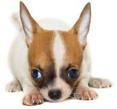 Cane della chihuahua su priorità bassa bianca Immagini Stock Libere da Diritti