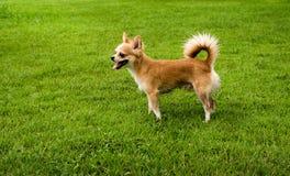 Cane della chihuahua sul prato inglese dopo pioggia Fotografie Stock
