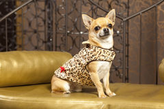 Cane della chihuahua in vestiti animali Fotografia Stock Libera da Diritti