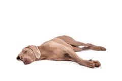 Cane della femmina di Weimaraner Immagine Stock Libera da Diritti