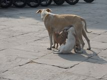 Cane della madre che alimenta i loro cuccioli fotografia stock libera da diritti