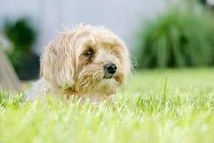 Cane della miscela di Yorkie Immagini Stock