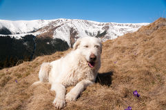 Cane della montagna Fotografia Stock