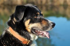 Cane della montagna di Appenzell Immagini Stock