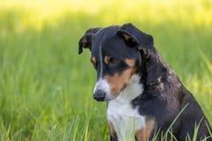 Cane della montagna di Appenzeller che si siede nell'aria aperta dell'erba fotografia stock