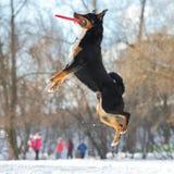Cane della montagna di Appenzeller di frisbee con il disco rosso di volo fotografie stock libere da diritti