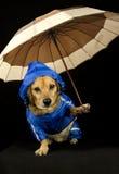 Cane della pioggia Immagini Stock