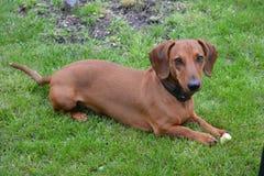 Cane della razza del bassotto tedesco Fotografia Stock Libera da Diritti