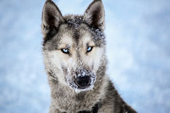 Cane della razza del husky fotografia stock libera da diritti