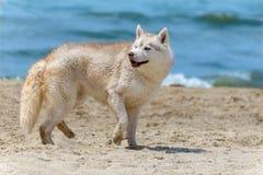 Cane della razza del husky Fotografia Stock