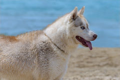 Cane della razza del husky Immagine Stock Libera da Diritti