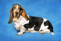 Cane della razza di Basset Hound Fotografia Stock