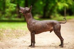 Cane della razza di Xoloitzcuintli, cane glabro messicano che sta all'aperto il giorno di estate Fotografia Stock Libera da Diritti