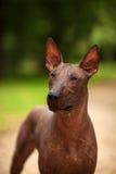 Cane della razza di Xoloitzcuintli, cane glabro messicano che sta all'aperto il giorno di estate Immagini Stock Libere da Diritti