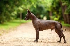 Cane della razza di Xoloitzcuintli, cane glabro messicano che sta all'aperto il giorno di estate Fotografia Stock
