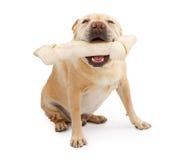 Cane della razza misto bulldog inglese con il grande osso Fotografia Stock