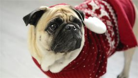 Cane della razza un carlino in un vestito della renna L'animale abile guarda negli occhi tristi della macchina fotografica Buon N stock footage