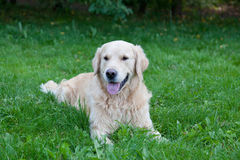 Cane della razza un golden retriever Fotografia Stock