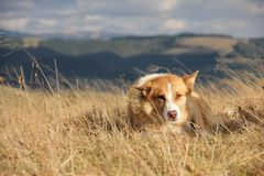 cane della Rosso-lana Immagini Stock Libere da Diritti