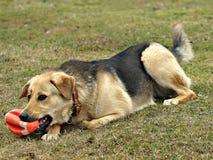 cane della sfera Fotografia Stock