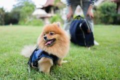 Cane della Tailandia sveglio al mercato di galleggiamento Immagini Stock