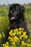 Cane della Terranova Immagine Stock