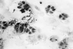 Cane della traccia nella neve Fotografie Stock