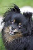 Cane della traversa della chihuahua di Pomeranian Fotografie Stock Libere da Diritti
