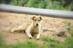 Cane della via di Brown dell'asiatico Fotografia Stock