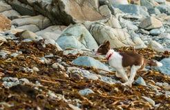 Cane delle collie fotografie stock libere da diritti