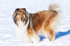 Cane delle collie in neve Immagine Stock