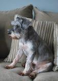 Cane dello Schnauzer sullo strato Fotografia Stock Libera da Diritti