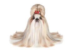 Cane dello shih-tzu della razza immagini stock libere da diritti