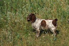 Cane dello spaniel Fotografia Stock