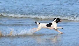 Cane dello spaniel che gioca nel mare Fotografie Stock