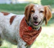 Cane dello Spaniel di Brittany Immagine Stock Libera da Diritti