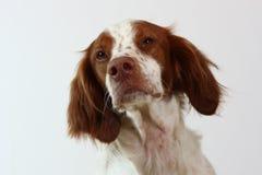 Cane dello spaniel di Brittany che osserva al lato Immagine Stock