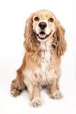 Cane dello Spaniel di Cocker isolato su bianco Fotografia Stock