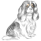 Cane dello Spaniel di re Charles di Avalier Fotografia Stock Libera da Diritti