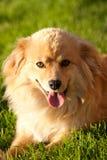 Cane dello Spitz di rivestimento il giorno pieno di sole fotografia stock libera da diritti
